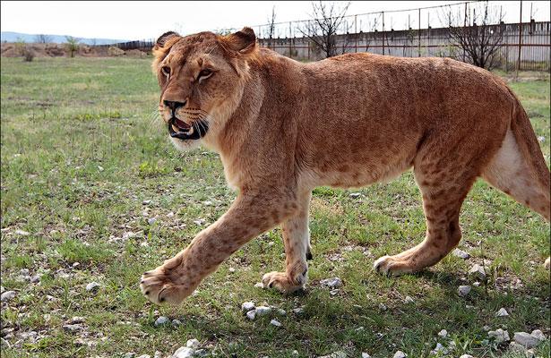 Молодая самка. Леопардовые пятна у нее уйдут после первой беременности