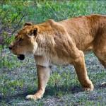 Животных кормят, помимо разложенного на специальных палетах мяса, и живой пищей, чтобы сохранять у львов охотничьи навыки