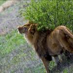 Лев обходит свои владения