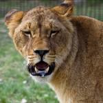 Молодая львица