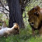 брачные игры львов