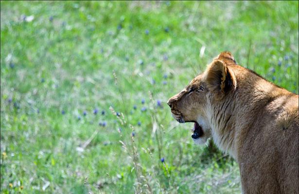 Львица смотрит вдаль