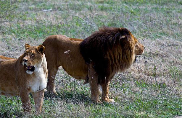 Львы на прогулке