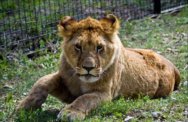 Львица отдыхает после...