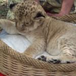 Фотография со львенком, парк тайган, 50 грн