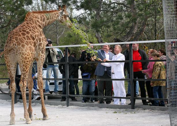 "Фото зверей в сафари-парке ""Тайган"", жирафы"