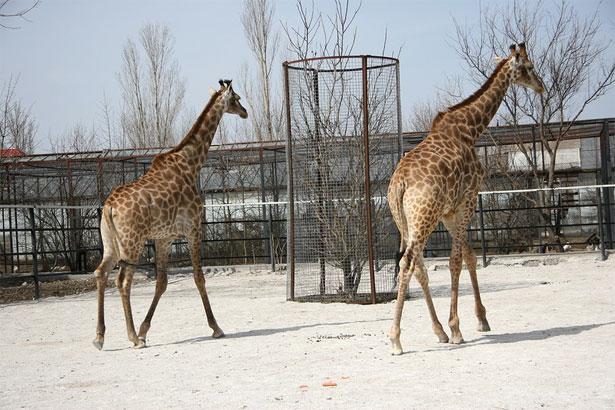 Два жирафа и дерево с сеткой, чтобы не съели