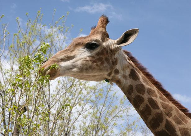 Африканский жираф ест деревья в парке