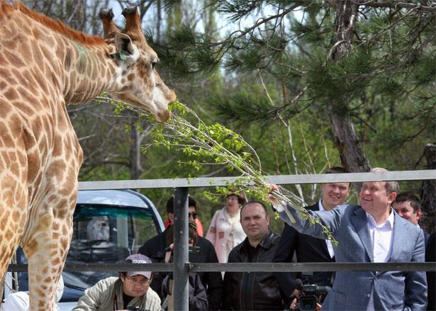 Могилев и Зубков кормят жирафу