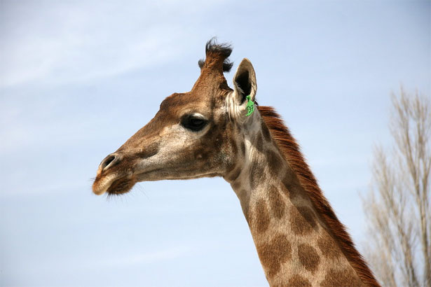 Голова жирафа крупное фото