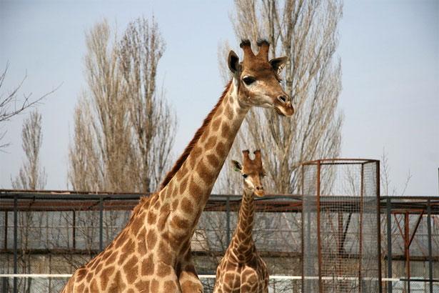 """Две жирафы в парке """"Тайган"""""""