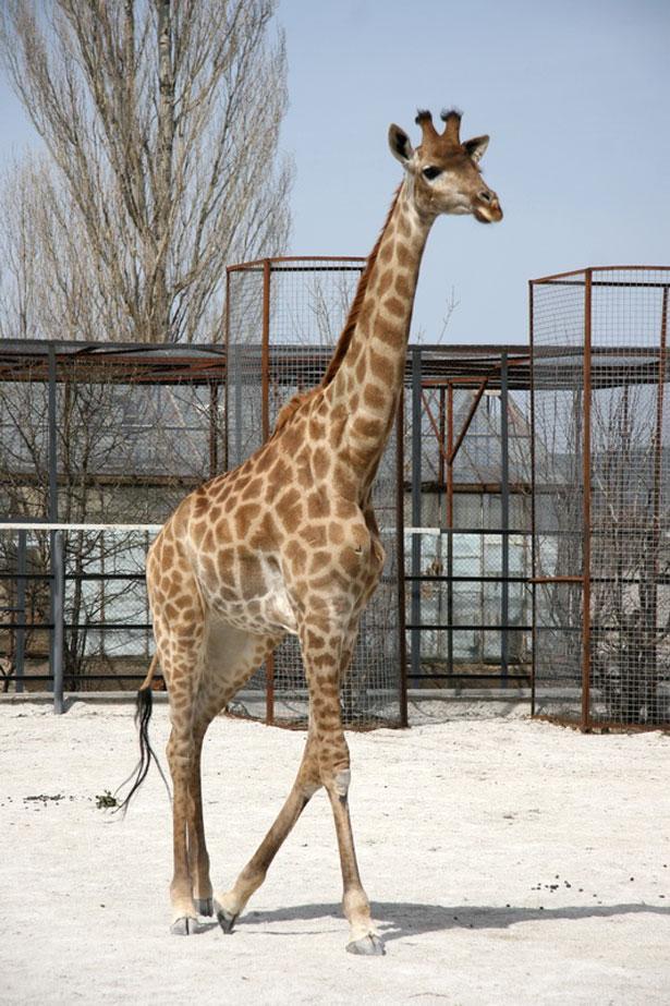 Африканский жираф в Крыму