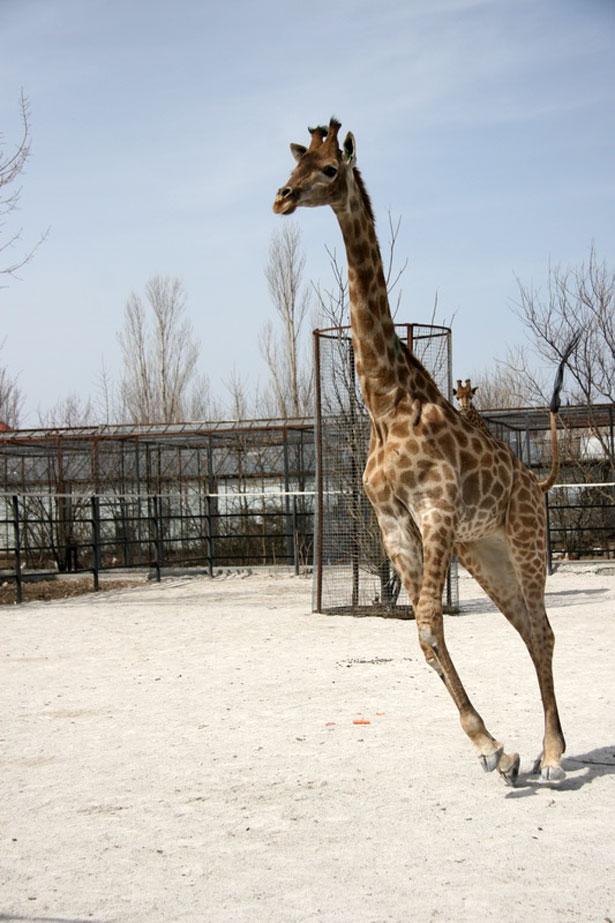 Как бегают жирафы? -  Довольно быстро