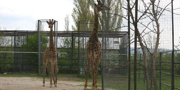 "Фото жирафов в сафари-парке ""Тайган"""