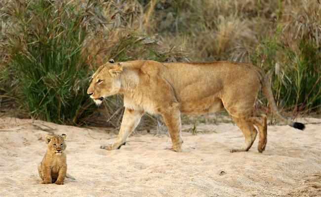 Львица и львенок гуляют