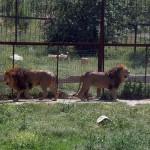 Фото львов в парке Тайган