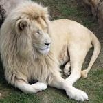Белые львы в сафари парке Тайган