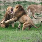 Львиный рык слышен до 8 км.