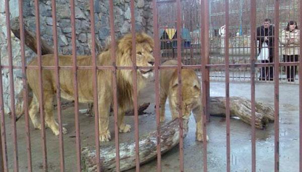 """Лев """"Барон"""" в зоопарке Симферополя"""
