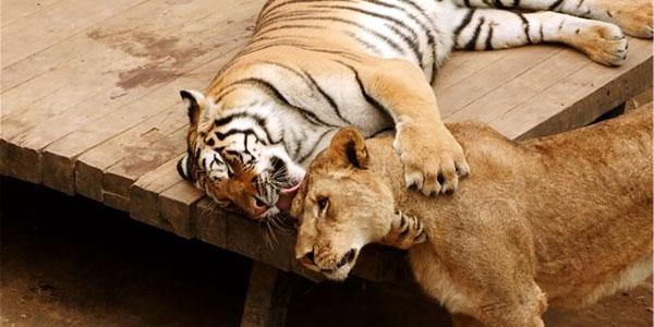 tigr-i-lvitsa