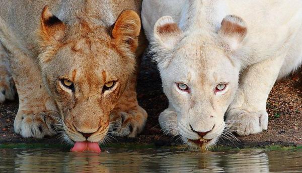 Белый лев-альбинос, африка