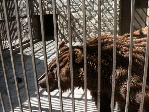 Медведь Миша в симферопольском зоопарке