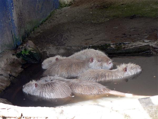 Нутрии в симферопольском зоопарке в воде