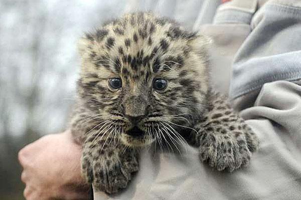 leopard-amur