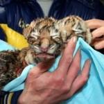 """Амурская тигрица родила тройню. Зоопарк """"Сказка"""""""