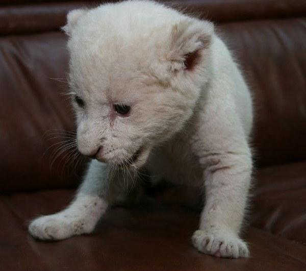 16.12.2012 - Белые львята