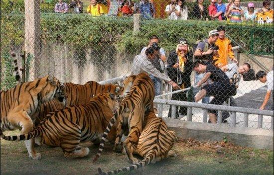 797_tiger_02