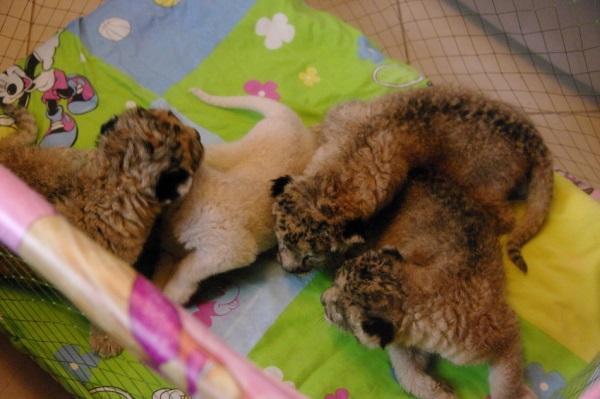 """в Парке львов """"Тайган"""" белая львица родила 3 серых львят. Это достаточно редкий случай в практике разведения львов."""
