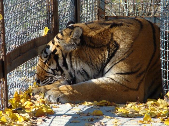 amur-tigr