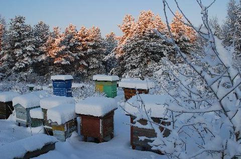 zimovka-pchel1